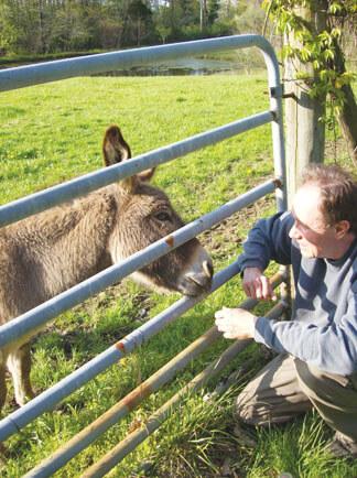 Donkey feeding at the barn