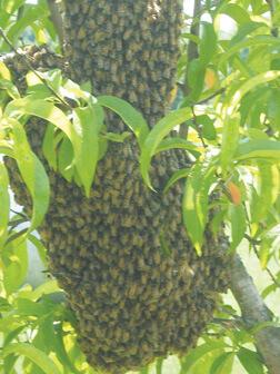 Honey Bees 2