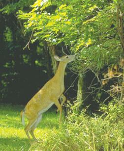 Should We Feed the Deer?